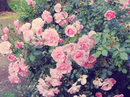 Hibiscus_Roses